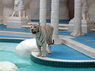 A White Tiger at the Dolphin Habitat at the Mirage Hotel and Casino