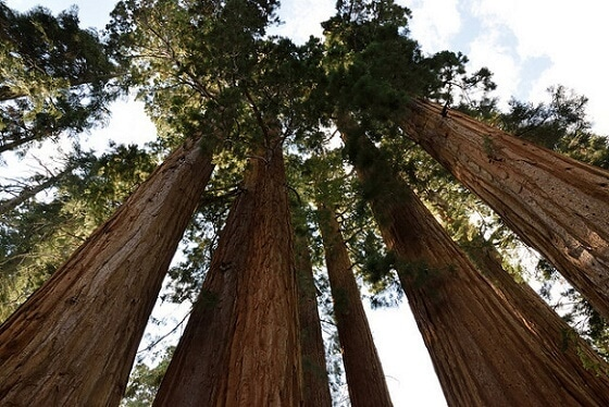 Some of the old giants at Sequoia National Park