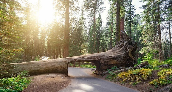 The Tunnel Log at Sequoia National Park
